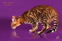 котенок бенгальских кошек