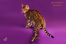 яркий бенгальский котенок