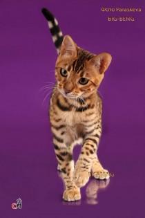 Крупный бенгальский котенок 3,5 мес