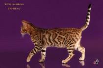 Крупный бенгальский котенок
