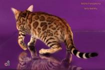 Бенгальская кошка  3,5 месяца