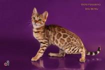 Бенгальский котенок - девочка