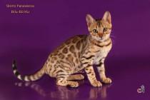 Бенгальская кошка  3,5 месяца.