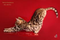 бенгальская кошка 3 месяца