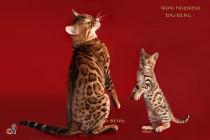 бенгальский котик мальчик 3 месяца