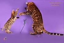 Бенгальский кот Одуванчик  играет с бенгальской кошкой