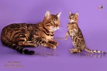 бенгальский котенок с бенгальским котом