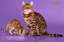 бенгальский кот и бенгальская кошка
