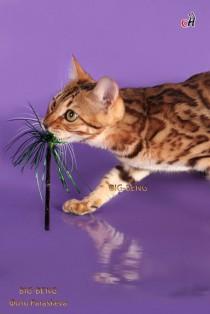 бенгальская кошка Олимпиада BIG-BENG