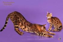 Бенгальский кот бенгальская кошка