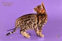бенгальский кот шоу-класса  продается
