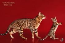 бенгальский кот и  котенок