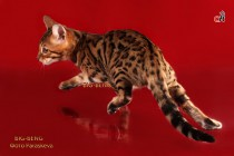 бенгальский котик 3 месяца бежит за игрушкой