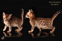 бенгальские котята питомник BIG-BENG