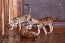 бенгальские котята питомника  Big Beng