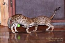 игры бенгальских котов