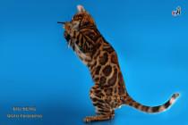 бенгальский кот Рубин яркий как драгоценный камень