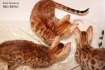 игры домашних леопардов