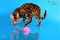 бенгальский кот яркого золотого окраса