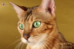 бенгальская кошка с необычайно зелеными глазами