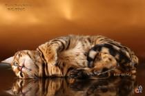 ласковый бенгальский кот