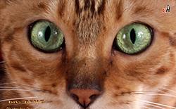 Бенгальская кошка в печати