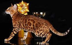 Бенгальские кошки на выставках
