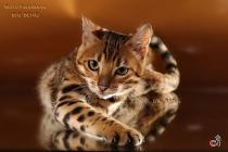 бенгальский котенок ласковый и уверенный