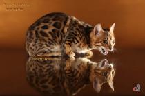 бенгальский котенок-девочка
