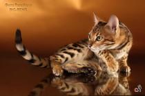 бенгальский котенок-мальчик