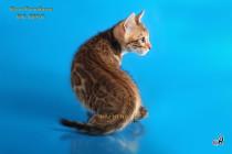 котенок бенгальский питомника Big Beng