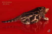 бенгальский котенок -мальчик