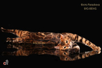 бенгальский кот Рубин Big-Beng