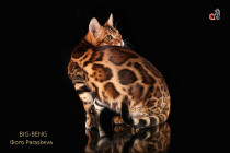 бенгальский кот Rubin Big-Beng