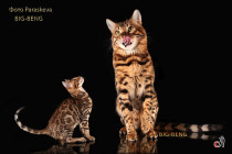 производитель питомника Big Beng c котенком