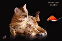 Роскошный кот питомника Big Beng