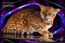 бенгальская кошка Bagira Big-Beng