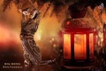 бенгальский кот Vulkan