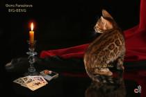 бенгальская кошка 2 месяца
