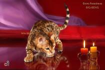 бенгальские котенок