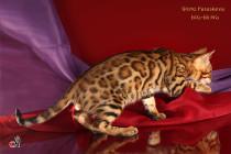 котенок бенгал