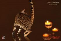 кот-любимец